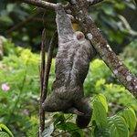 Three-toed Sloth