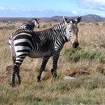 Famous Mountain Zebra