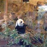 Panda Bear eating dinner