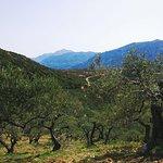 Cretan olive trees...
