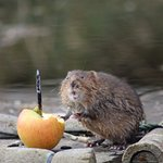 Water Vole on the Scrapes