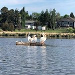 Pelicans on the lake.