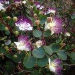 i cucunci (fiori del cappero)