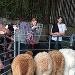 Young Alpacas feeding