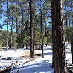 Large pine trees, probably Ponderosa or Douglas Fir