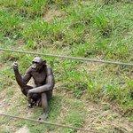 Gurumurthy - the Chimp