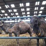 de ruime stallen bieden plaats aan een honderdtal kamelen