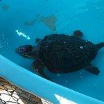 Tartaruga de cabeça gigante