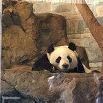 Giant panda has a big popularity.