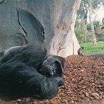 Биопарк Валенсия: кинг-конг