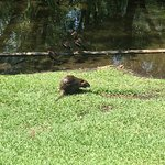 A nutria nibbling on grass at the edge of the pond at Lafreniere Park.