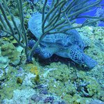 Sea turtle relaxing on the reef