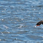 Puffin running on water to take off