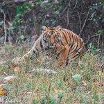Tiger In Jim Corbett