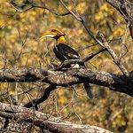 Hornbill in Dhikala