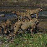 Coalition of female lion at Tarangire National Park