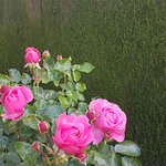 Roses and yew hedges