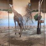 Giraffes are amazing!