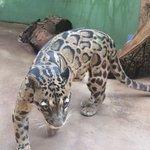 smoky leopard