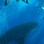whale shark excursion