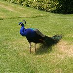 The magnificent Peacock roams the estate