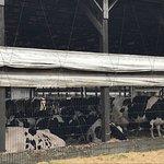 Hopkins Farm Creamery COWS