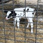 Calf at Hopkins Farm Creamery