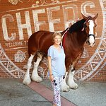 Clydesdale Pferd