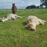 Alpaca Days Out照片