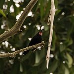 Amethyst Sunbird in tree just to the right of Chalet 30