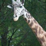 Daddy Giraffe