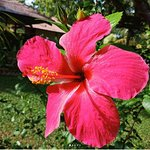 Hibiscus bloomed everywhere.