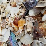 Unbelievable shells that were BEAUTIFUL!!! We'll be back! Don't forget a bag!😉