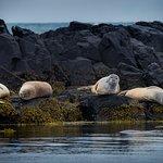 Seals at Langaholt