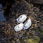 Enjoy fresh oysters with Irish locals by Flaggy Shore - Traveling Spoon