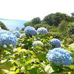 Hydrangeas in the garden, the same colour as the sea