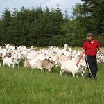 Enjoy an award-winning goat cheese tasting and goat farm tour in Ennistymon - Traveling Spoon