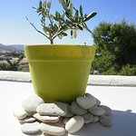 Very young olive tree with view across Parikia Bay.