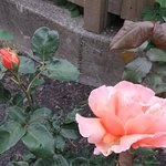 Beautiful Brandy roses fill the air with their heavenly scent.