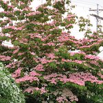 A close-up of one of our pink Dogwood trees.