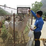 Ashok, the guide feeding the cows