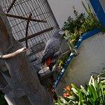 Ultimo pappagallo della Ranha del Fado