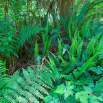 Two different fern species coexisting on forest floor