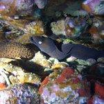 Common Moray Eel