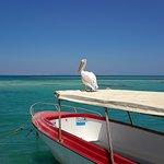 Resident pelican