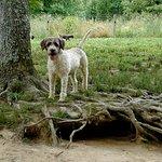 Lagotto Romagnolo truffle dog