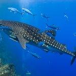 Similan diving Safaris at Richelieu Rock with Whale-shark