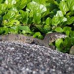 Monitor Lizard Similan islands