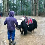 Yak available for ride near the temple
