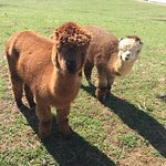 "Our two Alpacas at ""Animal Crackers"" Barn."